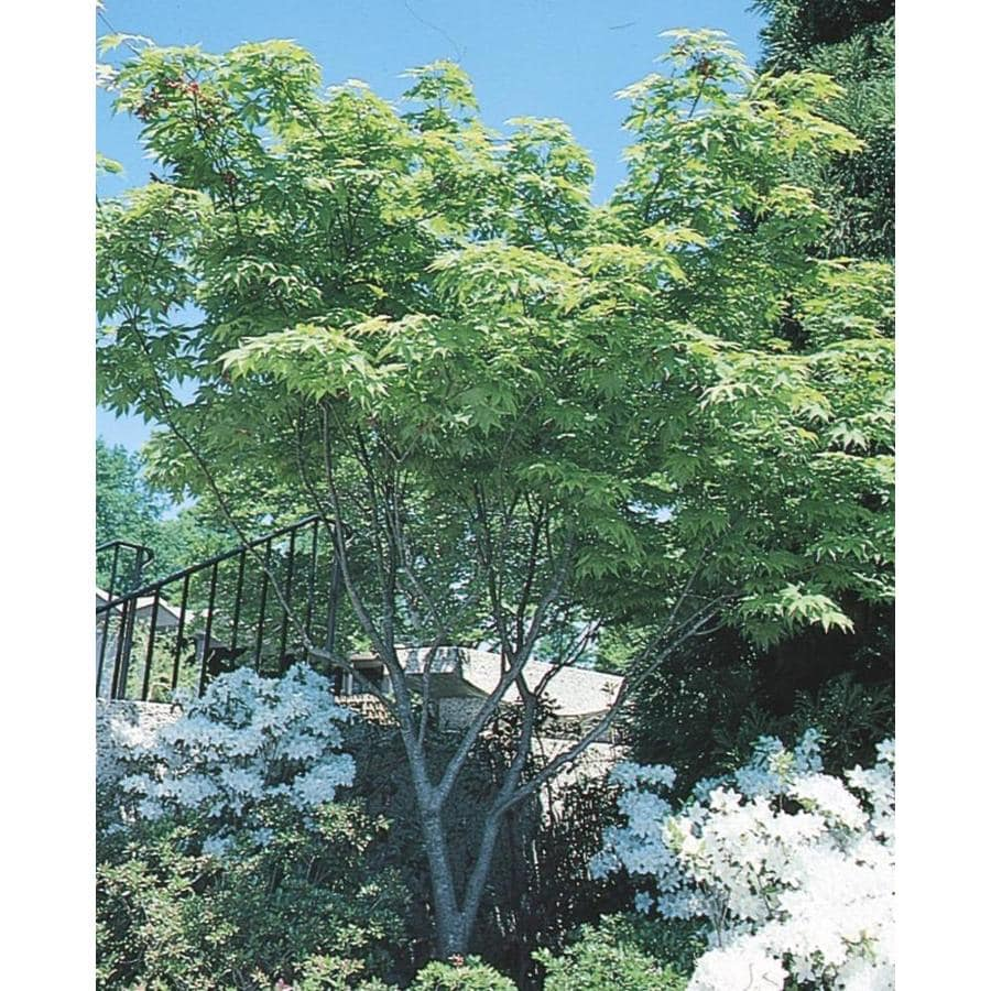 19-Gallon Japanese Maple Feature Tree (L4163)