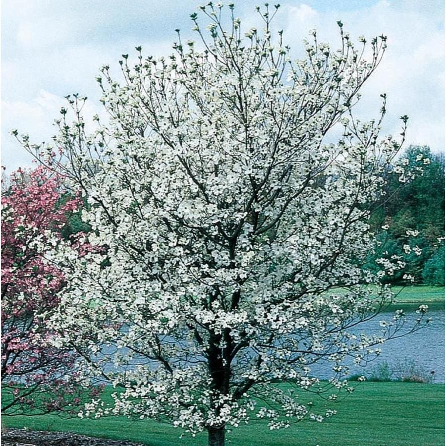 3.58-Gallon Cherokee Princess Dogwood Flowering Tree (L7329)