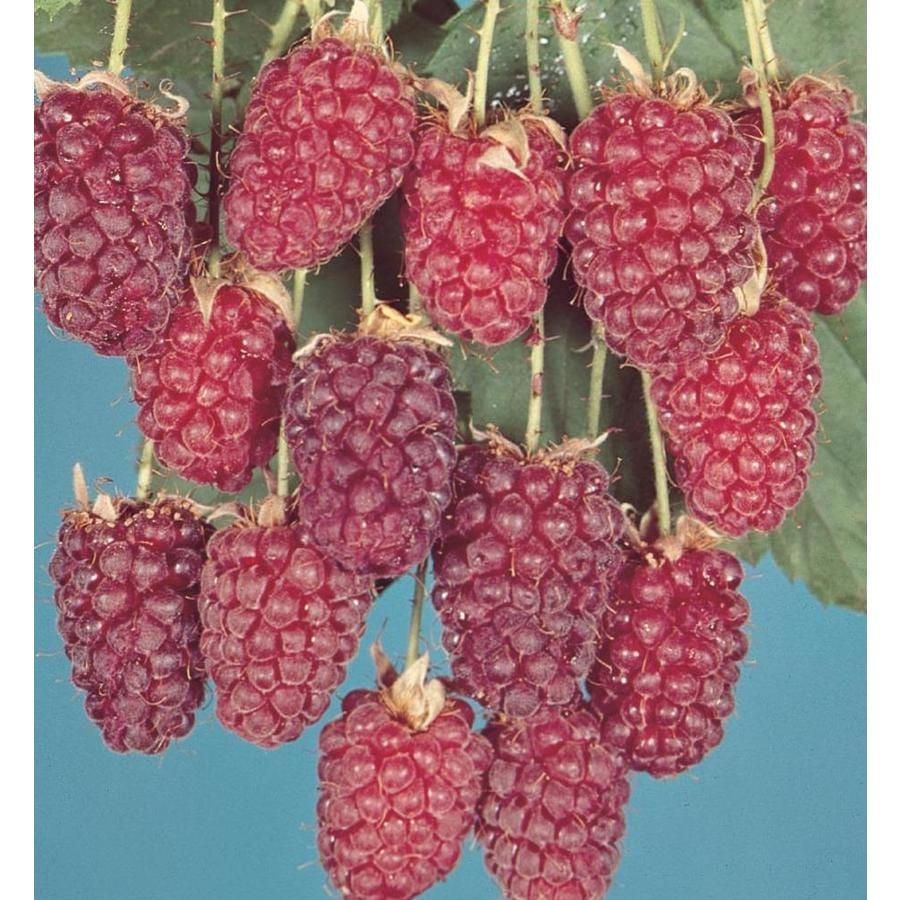 2.87-Quart Thornless Loganberry Small Fruit (L10508)