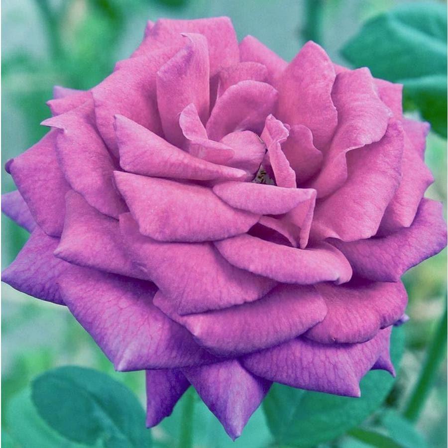 1.74-Gallon Purple Rose (L27469)