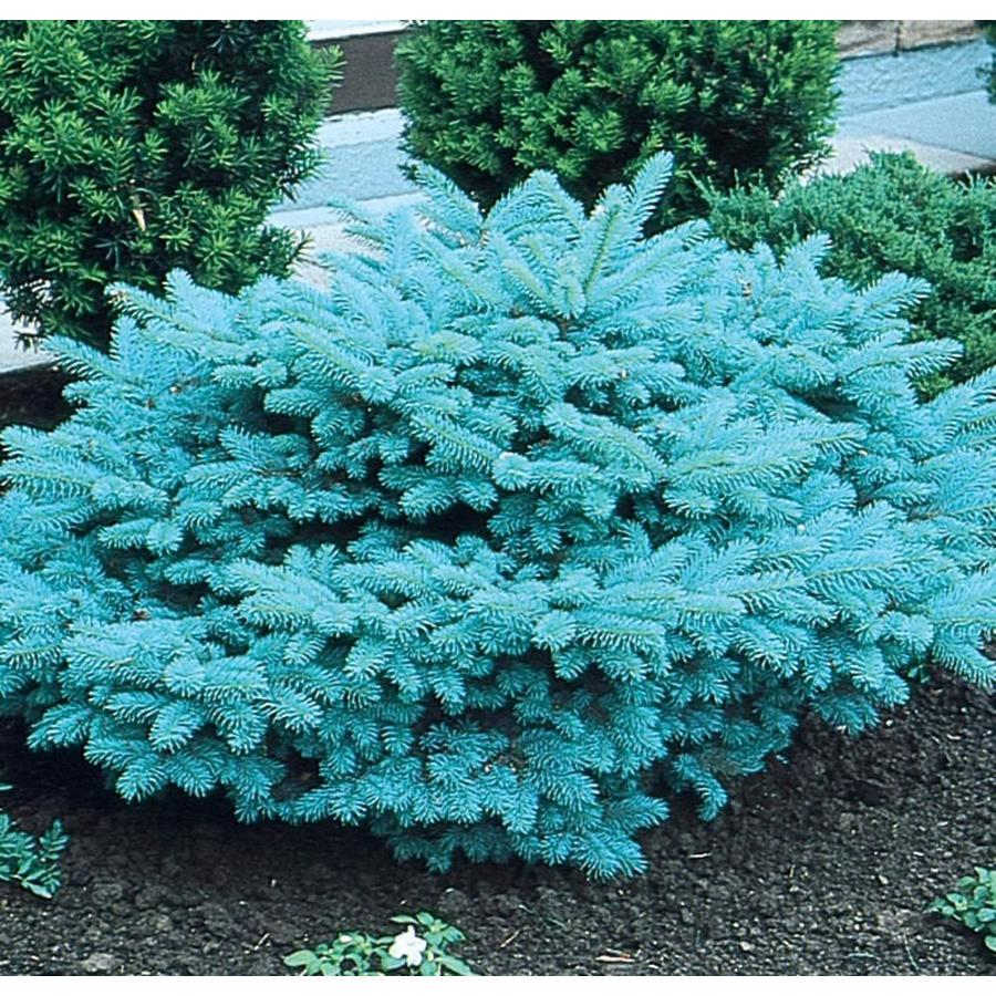 3.58-Gallon Blue Globosa Spruce Feature Tree (L4100)
