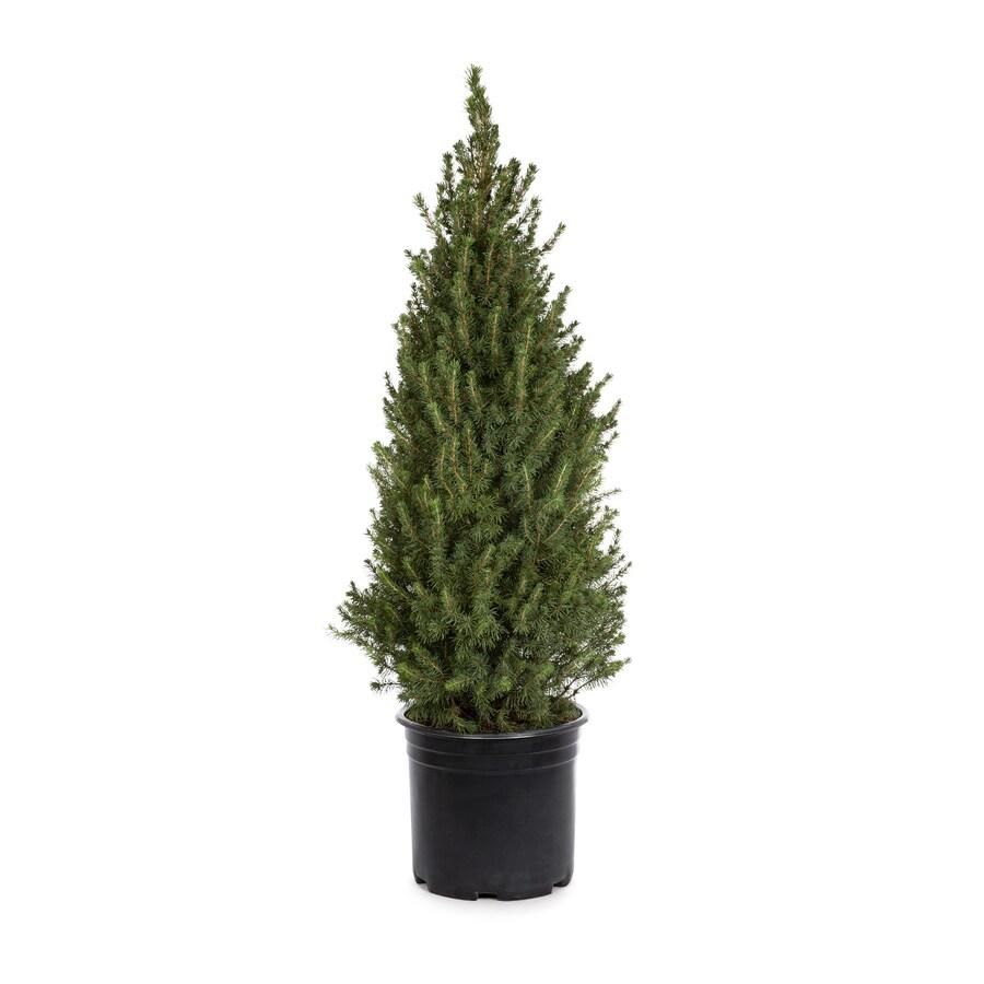 3.58-Gallon Dwarf Alberta Spruce Feature Shrub (L8449)