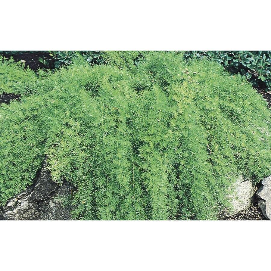 3-Quart Asparagus Fern (L5775)