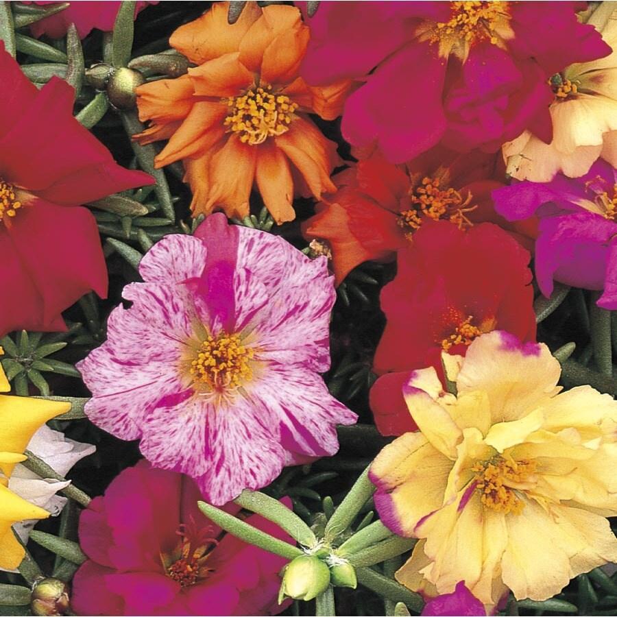 1-Quart Moss Rose (L2535)