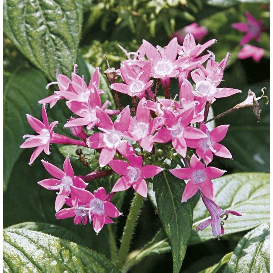 2.5-Quart Butterfly Deep Pink Pentas (Ltss045)