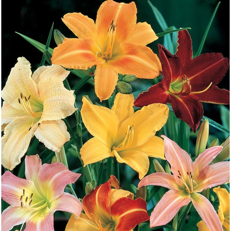 6 Pack Container Daylily (L5786)