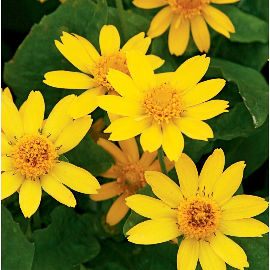6-pack Temporary Butter Daisy (L9167)