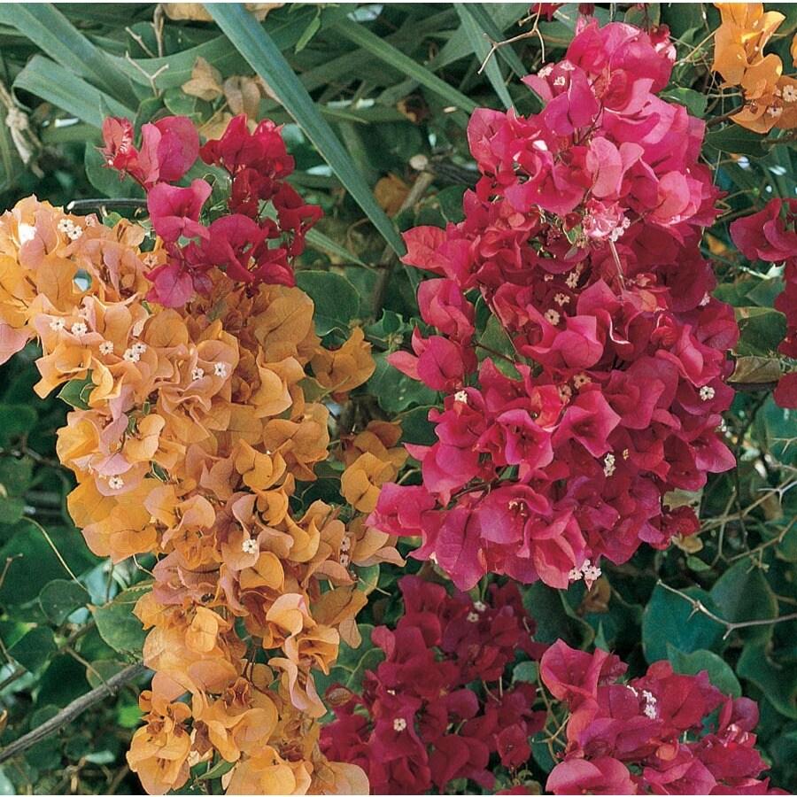 2.5-Quart Mixed Hybrid Bougainvillea Flowering Shrub (L5710)