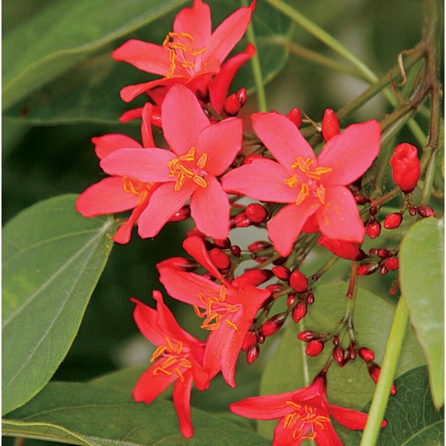 2.5-Quart Red Firecracker Jatropha Flowering Shrub (LTSS049)
