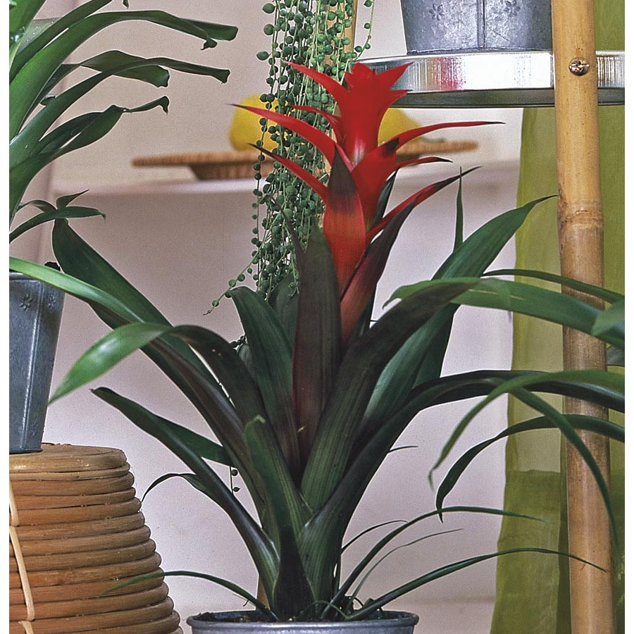 2.3-Gallon Bromeliads (L20921HP)