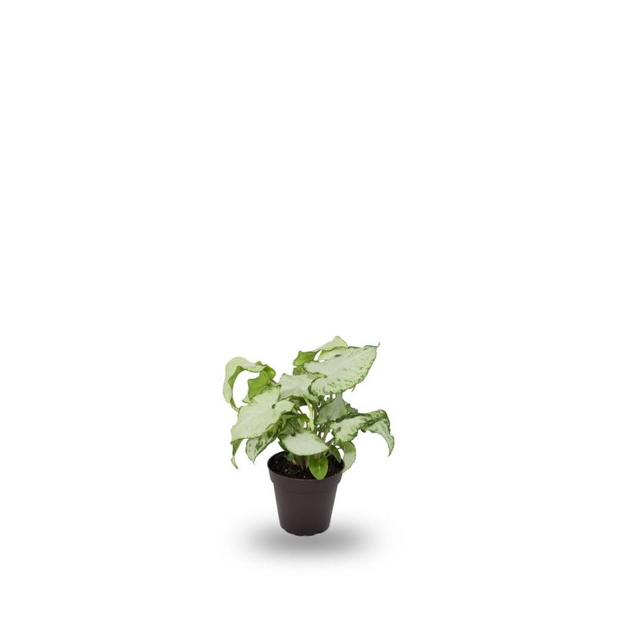 14-Ounce(s) White Butterfly Syngonium (L20981hp)