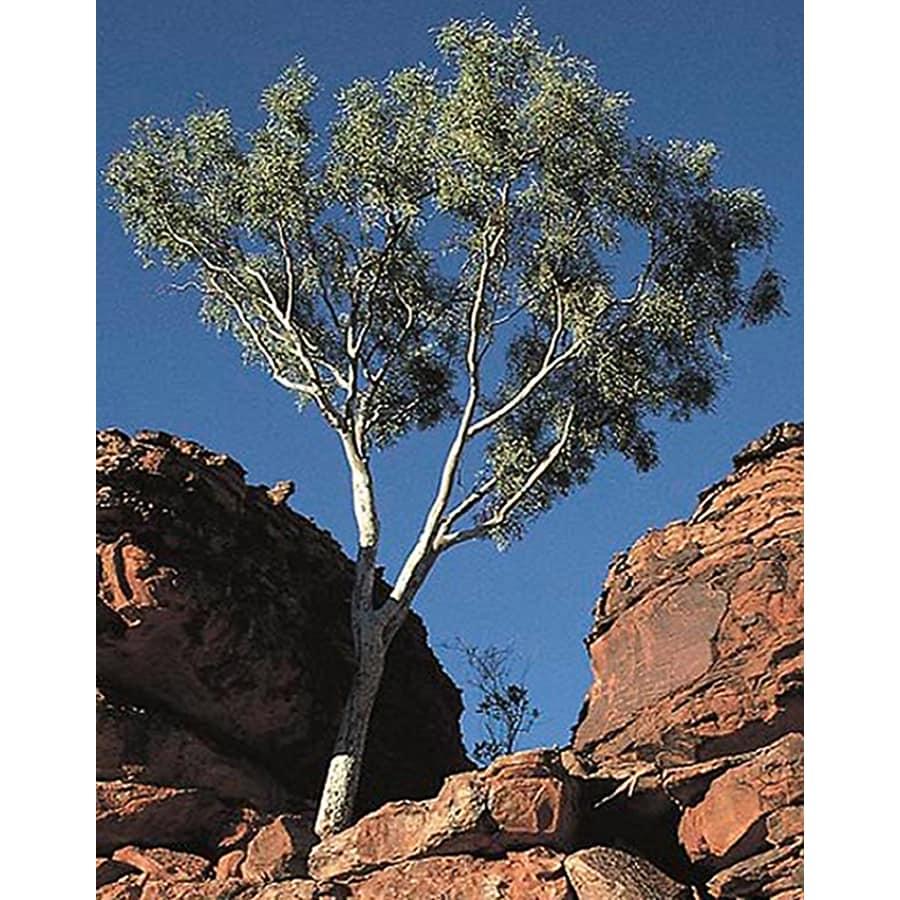 6-in Eucalyptus Shade Tree (L14900)