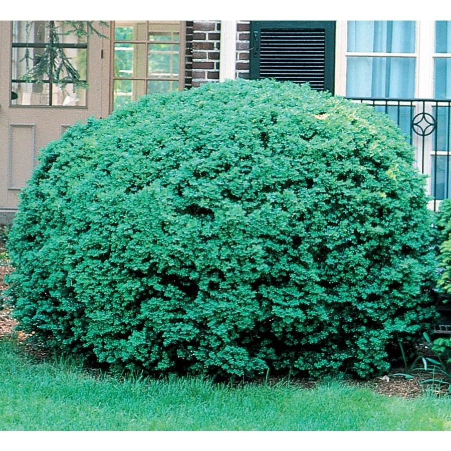 5-Gallon Dwarf English Boxwood Foundation/Hedge Shrub (L4185)