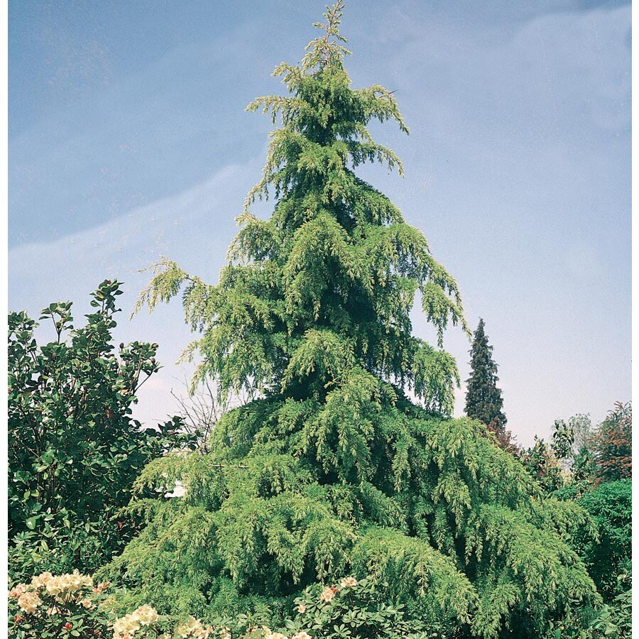 Shop 5 Gallon Golden Deodar Cedar Feature Tree L9467 At