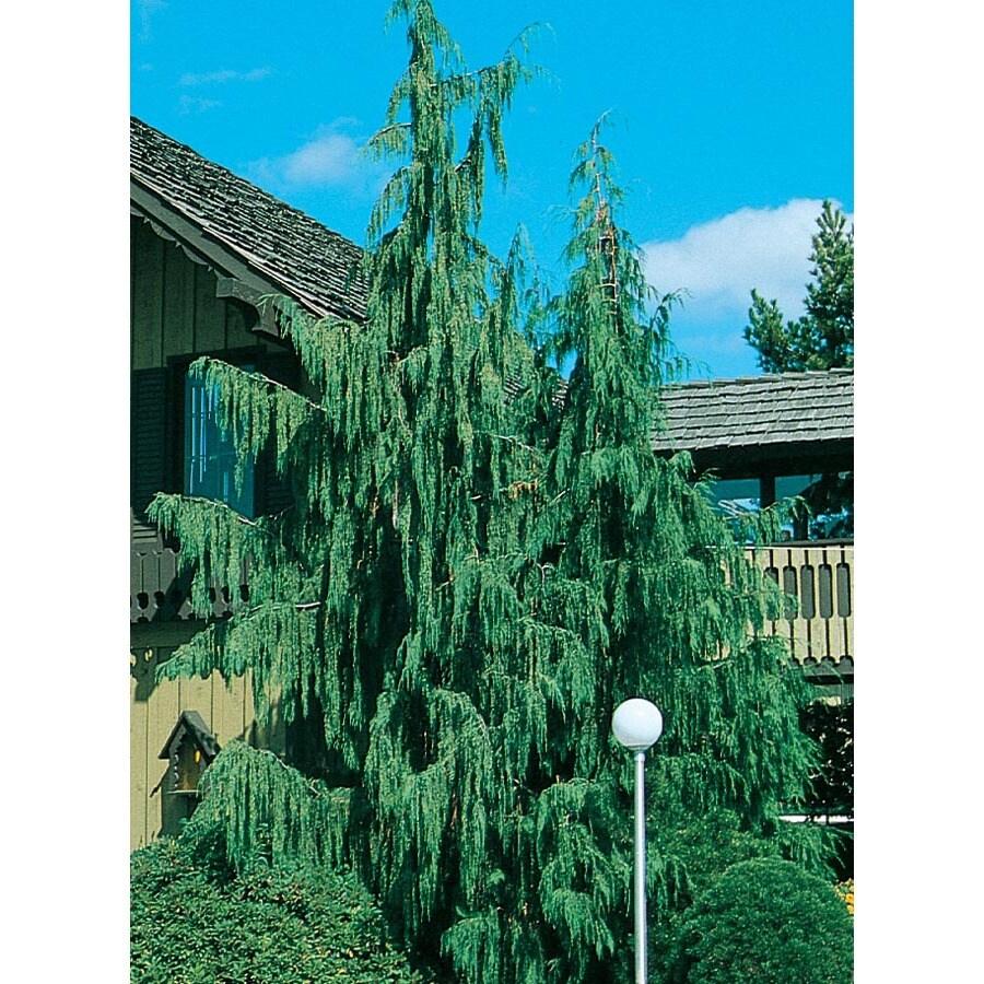 19.09-Gallon Weeping Alaskan Cedar Feature Tree (L14172)