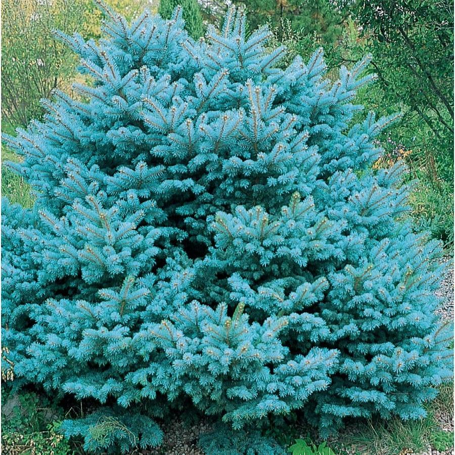12.7-Gallon Colorado Blue Spruce Globe Feature Tree (L14441)