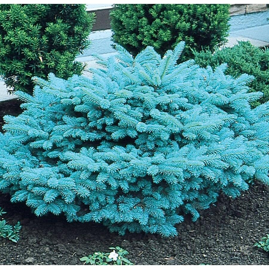 9.64-Gallon Blue Globosa Spruce Feature Tree (L4100)