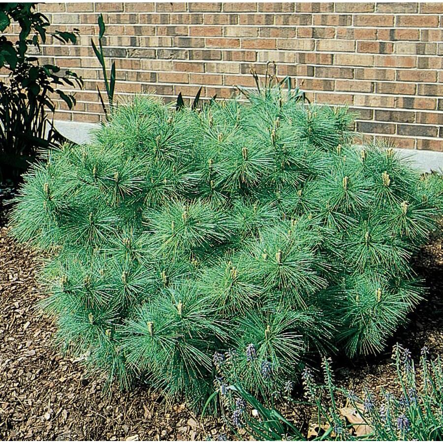12.7-Gallon Dwarf Eastern White Pine Feature Shrub (L5203)