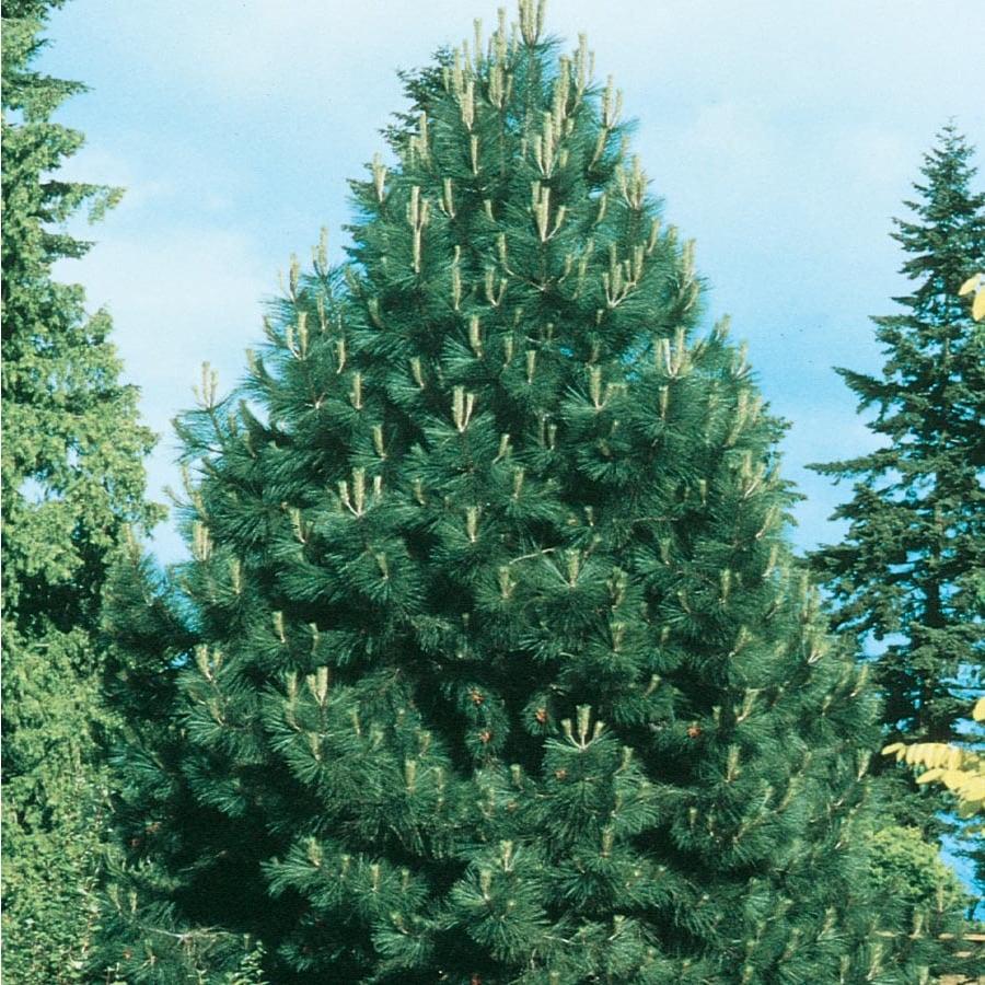 12.7-Gallon Western Yellow Pine (L10767)