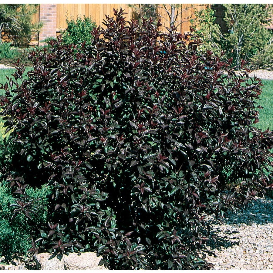 9.64-Gallon Pink Sand Cherry Feature Shrub (L9311)