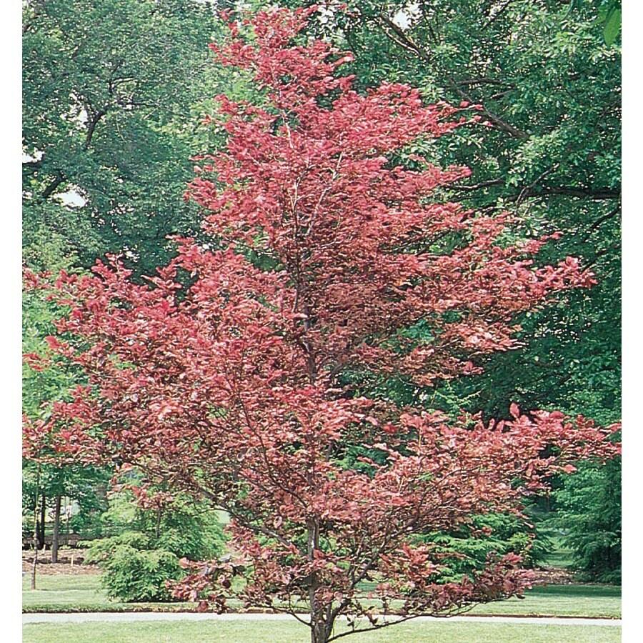 9.64-Gallon Tricolor Beech Feature Tree (L7232)