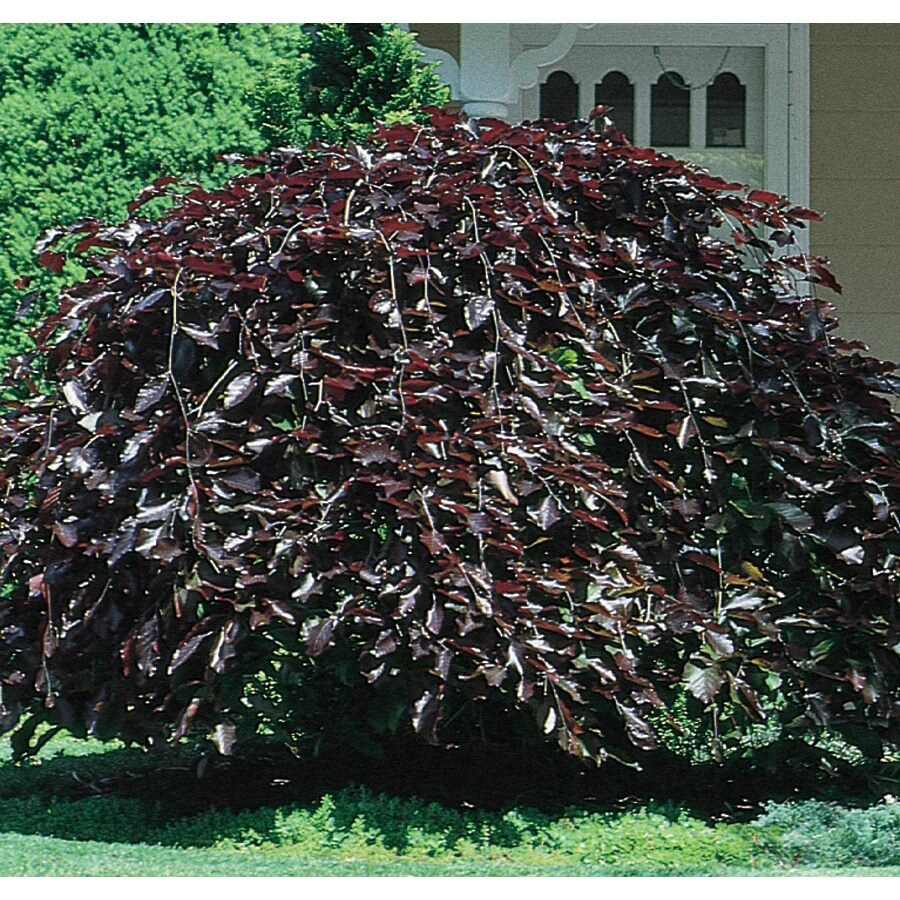 12.7-Gallon Purple Fountain Weeping Beech Feature Tree (L6780)