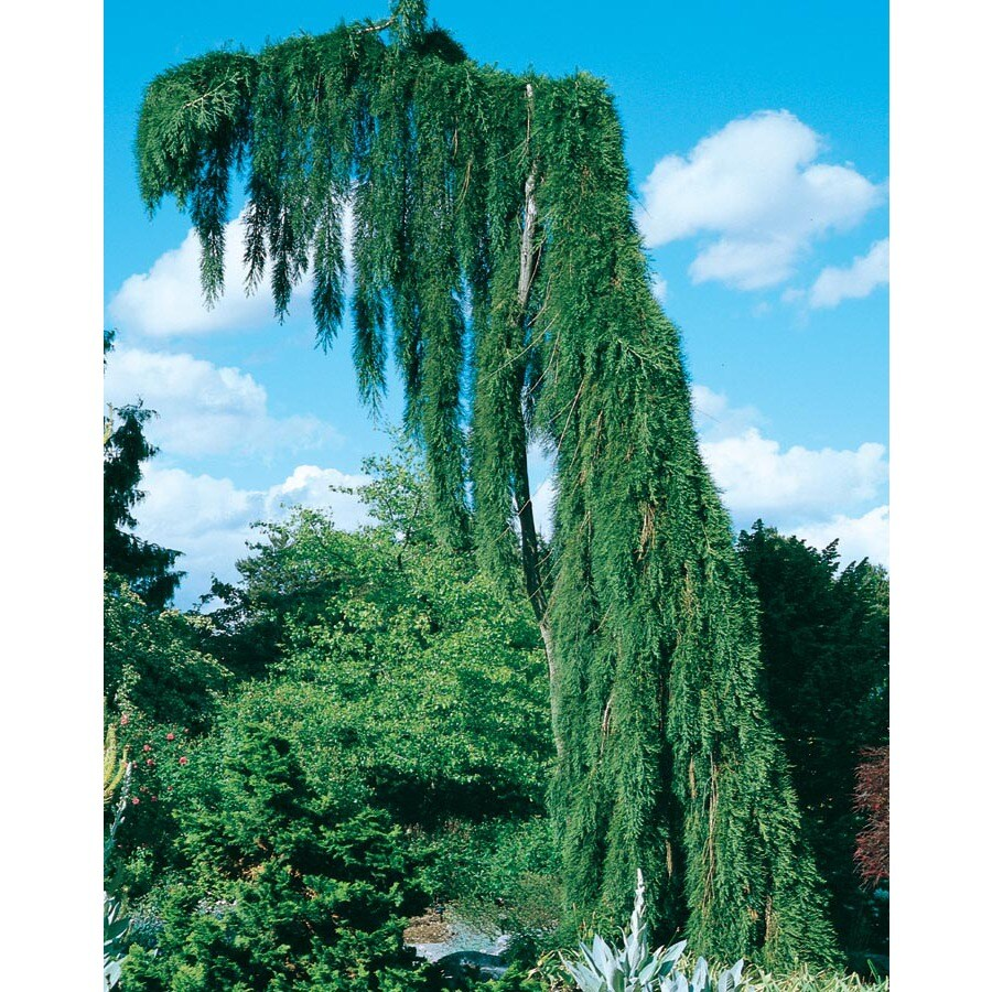19.09-Gallon Weeping Sequoia Feature Tree (L14274)