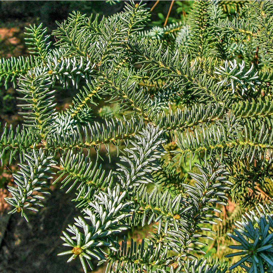 9.64-Gallon Blue Spanish Fir Feature Tree (L27290)