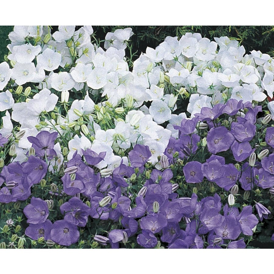 1 Flat Carpathian Bellflower (Lw02437)