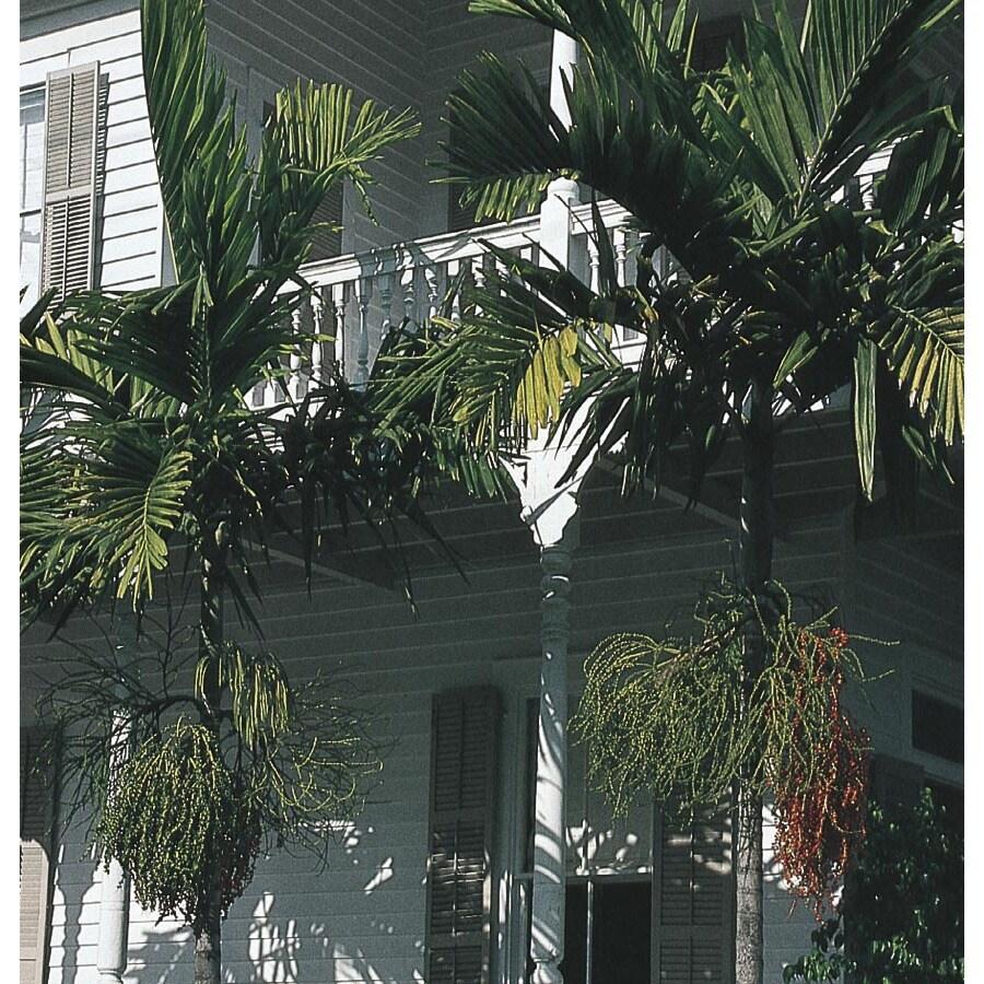 10-Gallon Alexander Palm Feature Tree (L9996)