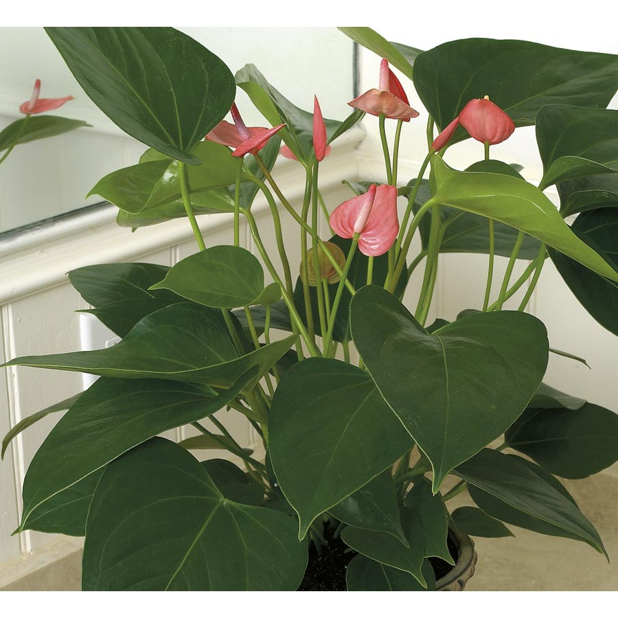 2.43-Quart Anthurium (L20914hp)