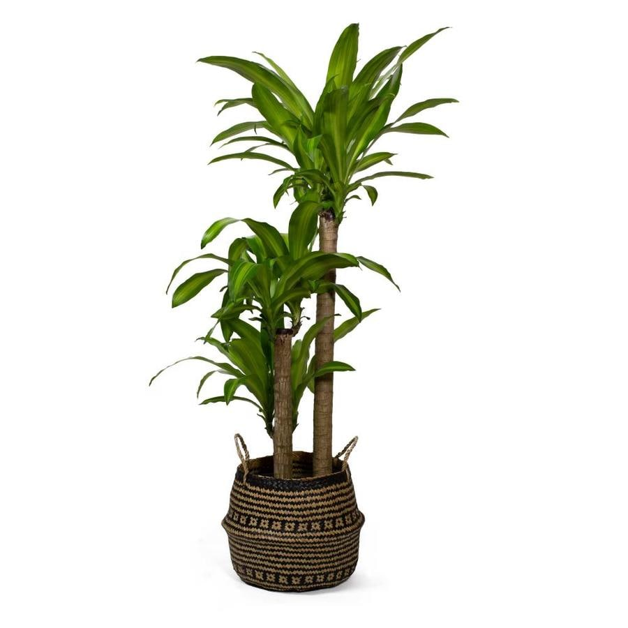 LiveTrends 3-Gallon Corn Plant in Planter (L20959hp) in the House Plants  department at Lowes.com