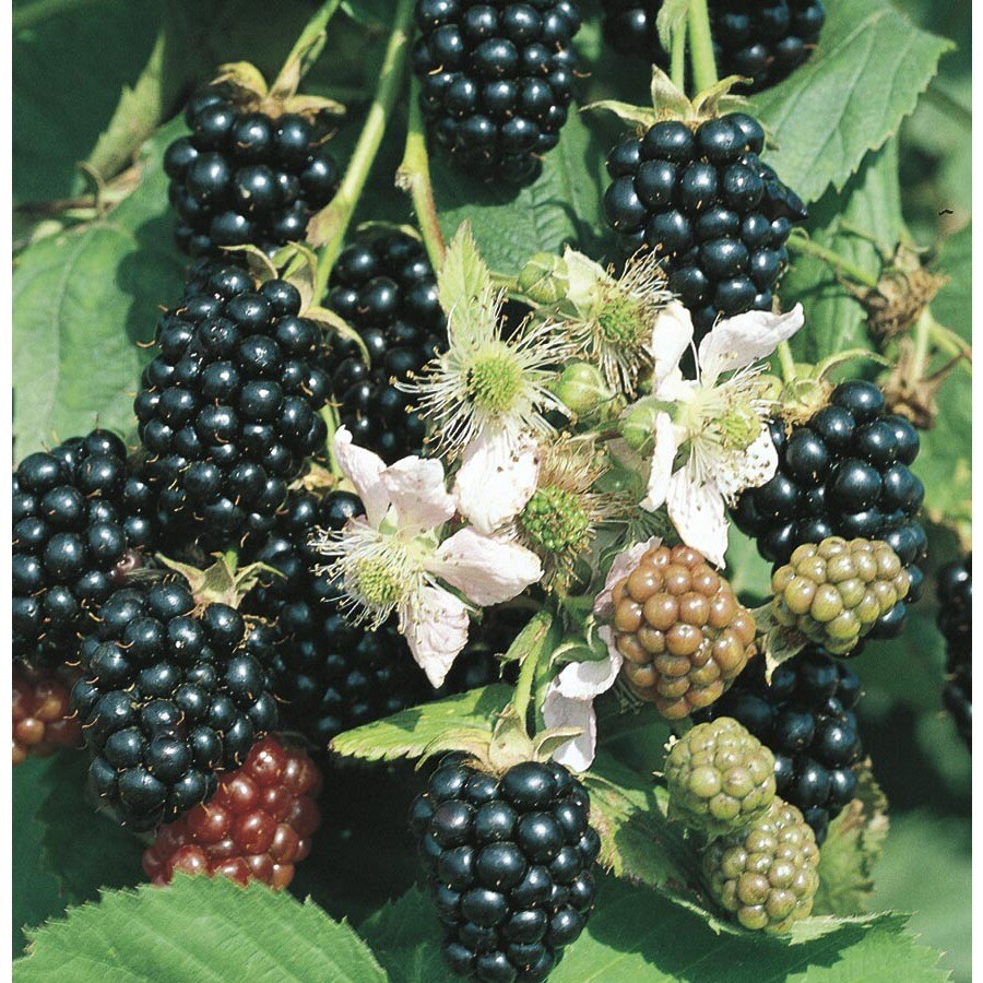 1.25-Quart Blackberry Small Fruit (L5825)