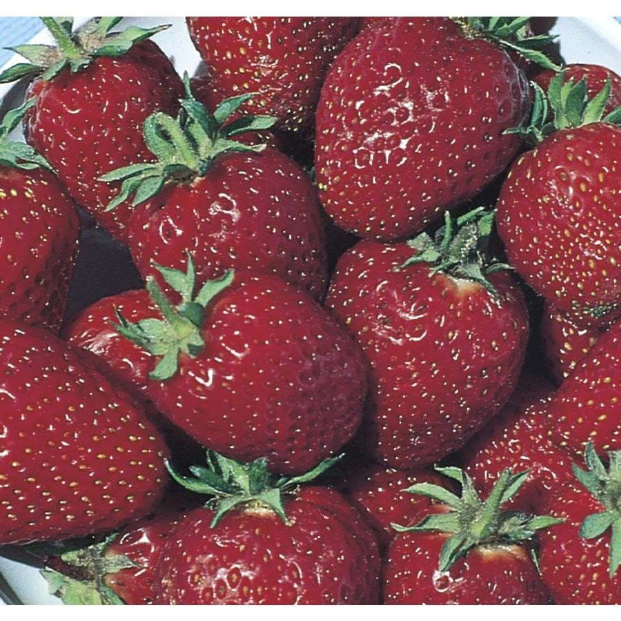 1.25-Quart Strawberry Small Fruit (L00574)