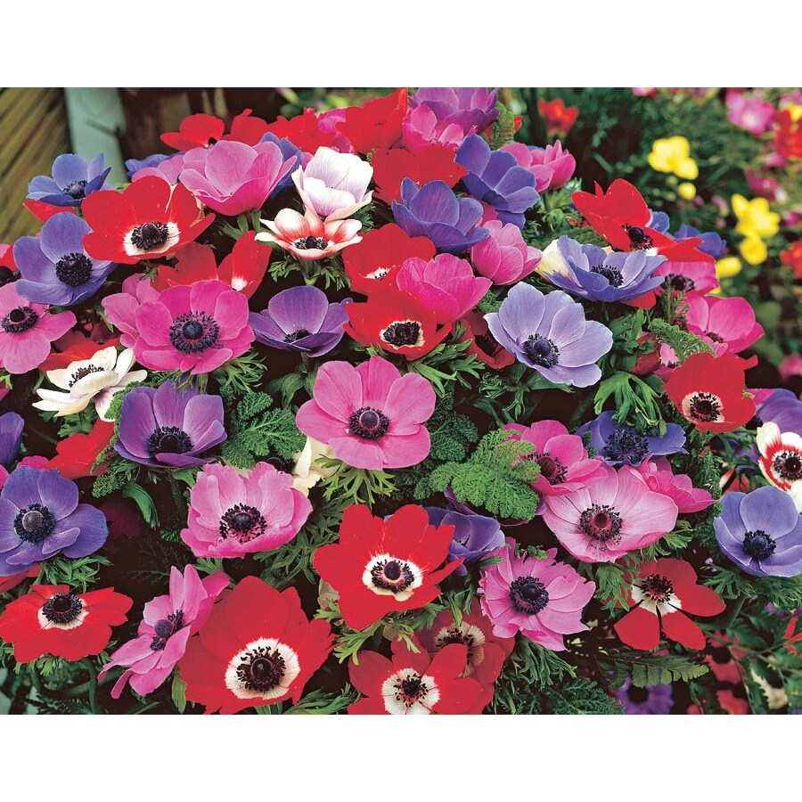 15-Pack De Caen Mixed Anemone (LB21787)