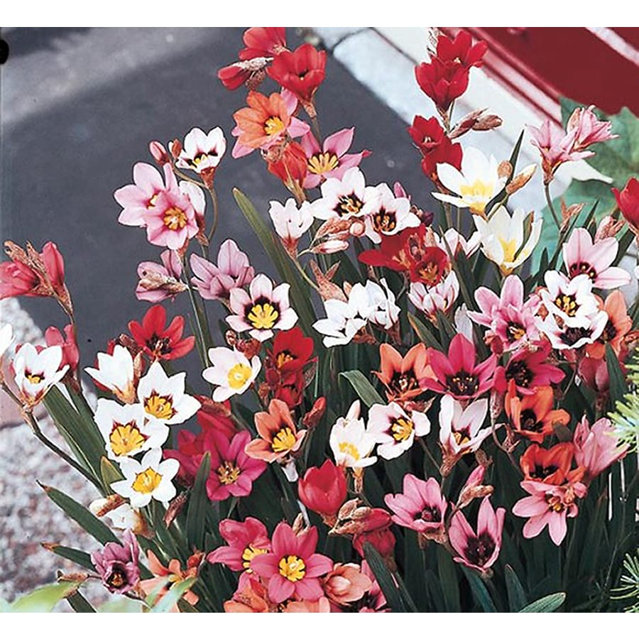 15-Pack Harlequin Flower (LB22190)