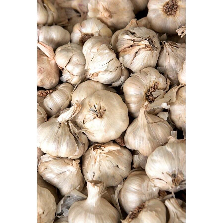 3-Pack California White Garlic Plant (LB22186)