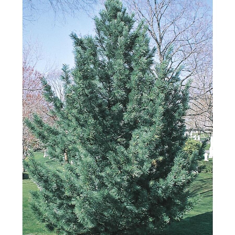 12.68-Gallon Vanderwulf's Pyramid Limber Pine Feature Tree (L6874)