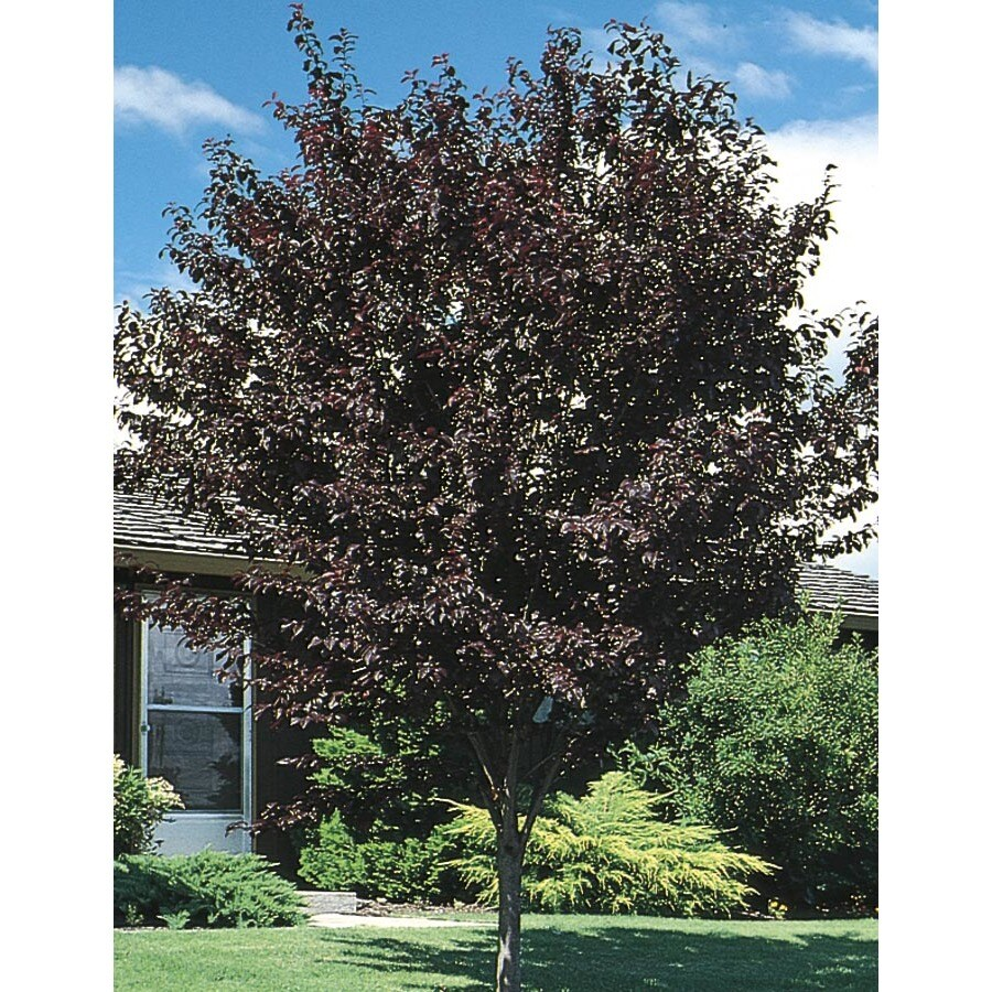 12.68-Gallon Thundercloud Flowering Plum Flowering Tree (L3215)