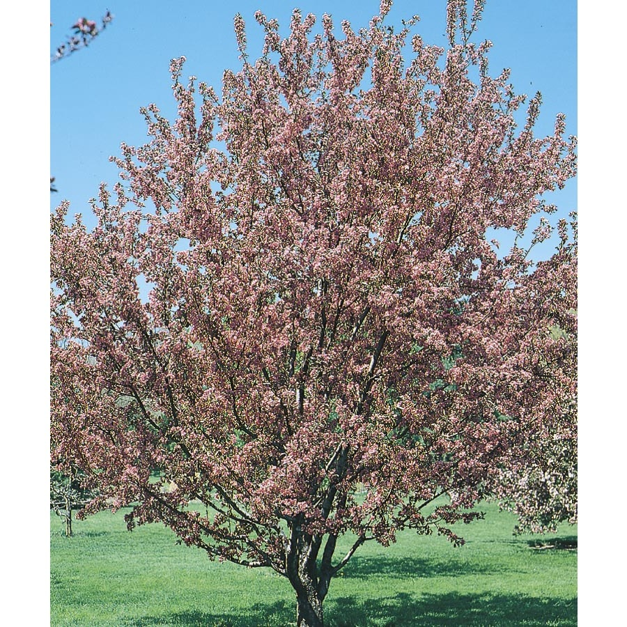 6-Gallon Flowering Crabapple Flowering Tree (L5985)