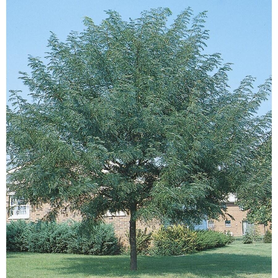 5.5-Gallon Shademaster Honeylocust Shade Tree (L1043)
