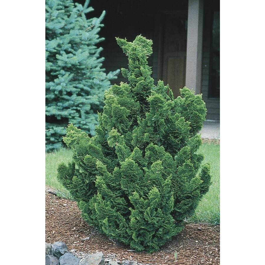 5.5-Gallon Hinoki False Cypress Tree (LW02477)