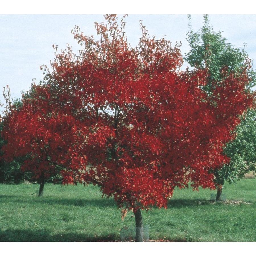 2.54-Gallon Amur Maple Shade Tree (L7792)