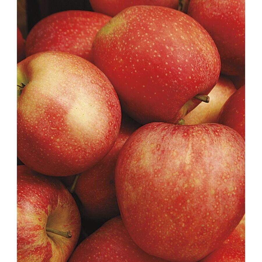 3.58-Gallon Honeycrisp Semi-Dwarf Apple Tree (LFT001)