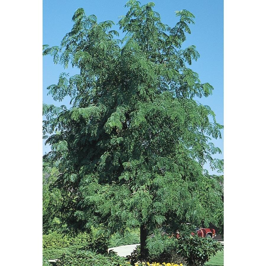 7.96-Gallon Skyline Honeylocust Shade Tree (L1079)