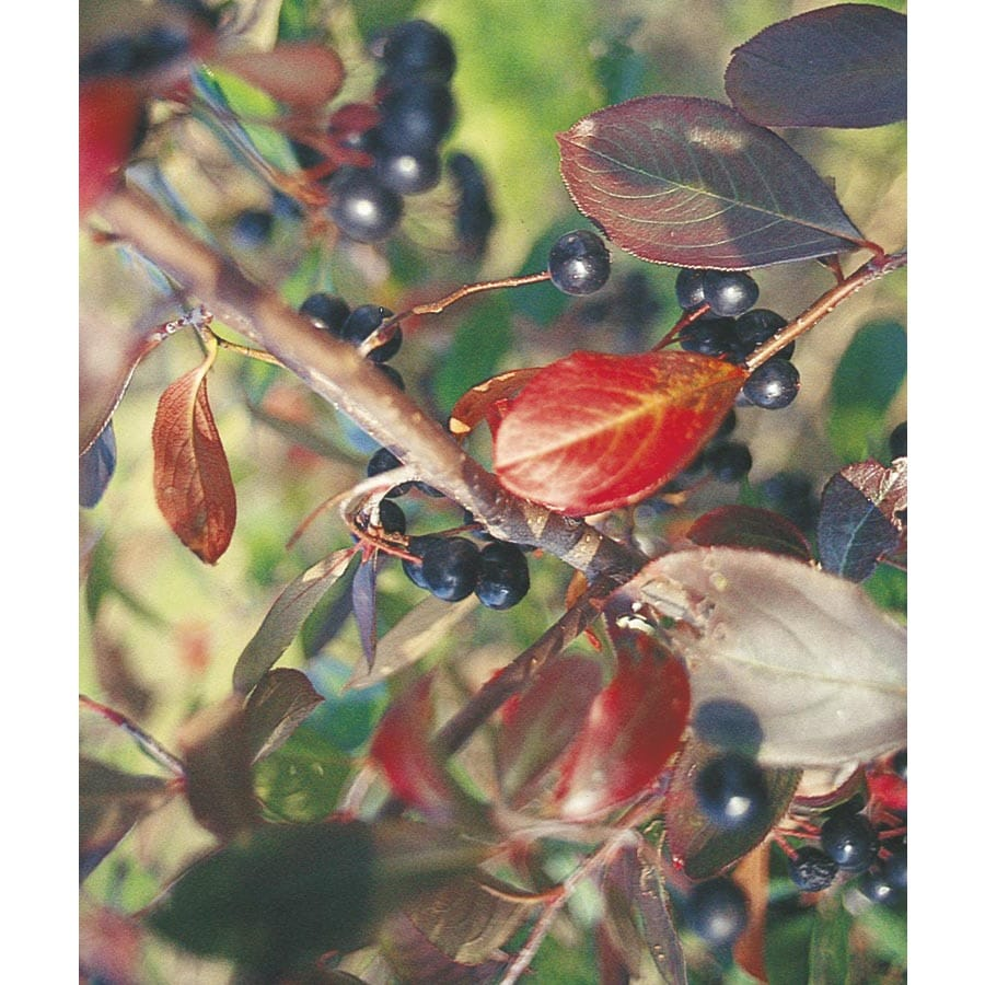 13.35-Gallon White Chokeberry Foundation/Hedge Shrub (L10461)