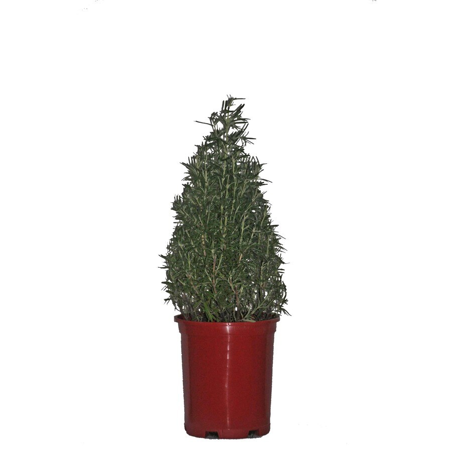 2.0-Quart Fresh Holiday Rosemary