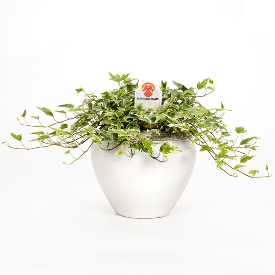 Exotic Angel Plants Tabletop in Planter