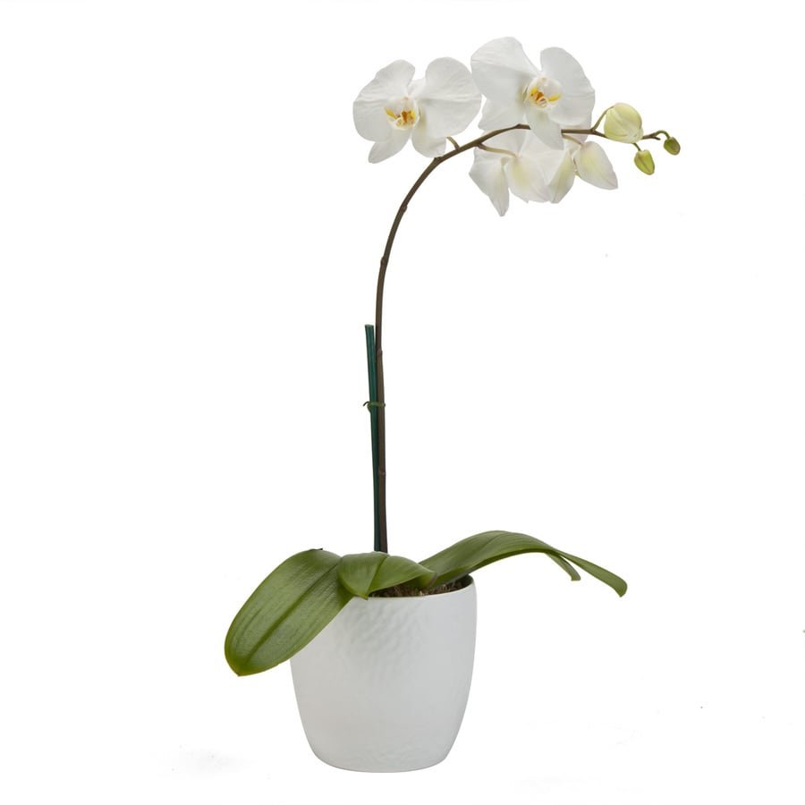 Exotic Angel Plants 1.31-Quart Moth Orchid (L20963hp)