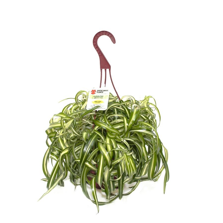 Exotic Angel Plants Spider Plant in 1.45 Quart Hanging Basket